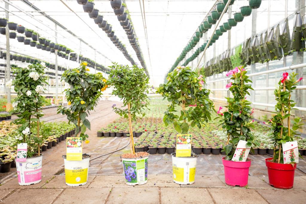 Verschillende soorten langbloeiende kuipplanten